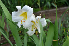 White lily flower & x28;LAT. Lilium candidum& x29; Stock Image