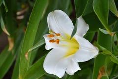 White lily flower & x28;LAT. Lilium candidum& x29; Royalty Free Stock Photography