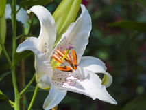 White lily flower on the nature Stock Photography