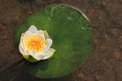 White lily flower in a pond. Close up Stock Image