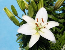 White lily flower with sky. White lily flower with buds against leaves and blue sky Royalty Free Stock Image