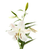 White lily flowering spike Royalty Free Stock Photography