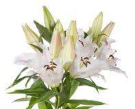 White lily flowers stock photos