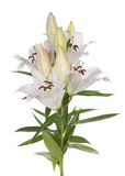 White lily flowers. Isolated on white background Royalty Free Stock Photography
