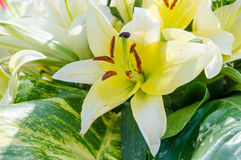 White lily flowers Stock Image