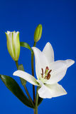 White Lily Flowers on Blue Background Royalty Free Stock Photos