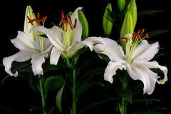 White lily flowers Stock Photography