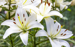 White Lily flowers in a garden Stock Photography