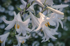 White lily flowers. In a garden, stamens and pistils, petals Stock Photography