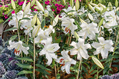 White lily flowers Royalty Free Stock Image