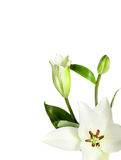White Lily Flowers Isolated Stock Image