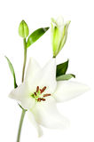 White Lily Flowers Isolated Royalty Free Stock Image