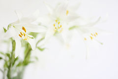 White lily flowers. Isolated on white stock photo