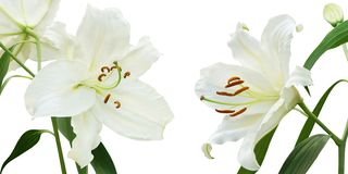 White Lily Flowers Isolated on White Background. Blooming White Lily Flowers Isolated on White Background stock image
