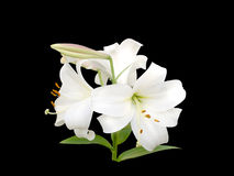White Lily  flowers Royalty Free Stock Photo