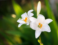 White lily flowers. Royalty Free Stock Images