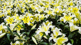White lily garden Royalty Free Stock Images