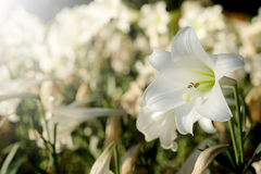 White lily in garden background.  Representation to Pure love or love at first sight Stock Photography