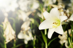 White lily in garden background.  Representation to Pure love or love at first sight Stock Photos