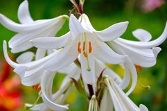 White lily in the garden Royalty Free Stock Image