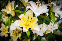 White Lily in the garden Royalty Free Stock Photography