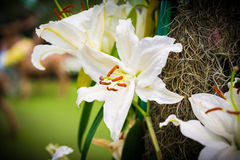 White Lily in the garden Royalty Free Stock Photo