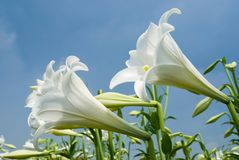 White lily group Stock Image