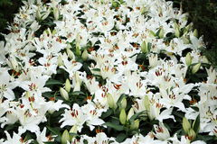 White Lily 2. Group of white liliies in full bloom in the field Royalty Free Stock Photo