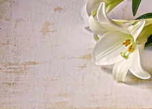 White Lily on Grunge Background. An Easter lily on a white grunge background.Flat Lay Stock Photos
