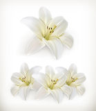 White lily icons Stock Image