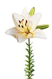 White lily isolated Stock Image