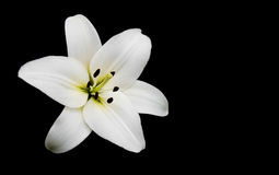 White lily. Isolated against a black background Stock Photos