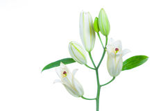 White lily. Isolated on white background Royalty Free Stock Photos