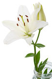 White Lily. Isolated on white background Royalty Free Stock Photo