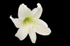 White Lily isolated on black. A beautiful white lily isolated on white Royalty Free Stock Photos