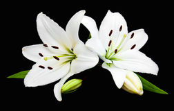 White lily. Isolated on a black background Stock Images