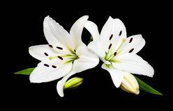 White lily. Isolated on a black background Royalty Free Stock Photography