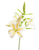 White lily isolated on white Royalty Free Stock Images