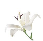 White lily isolated on white. Stock Photography