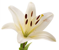 White lily isolated on a white background Royalty Free Stock Images