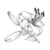 The Blooming lily. White lily isolated on a white background. Card with blooming lily. Vector illustration Stock Image