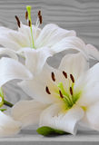 White lily isolated. White lily isolated on  wood background Stock Photos