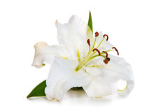 White Lily and ladybug isolated. Royalty Free Stock Photography