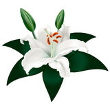 White lily with a leaf Stock Photos