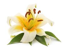 White lily with leaves. Royalty Free Stock Images