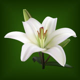 White lily on lgreen background Royalty Free Stock Image