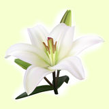 White lily on light background. White lily with buds on light yellow background Stock Image