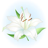 White lily royalty free illustration