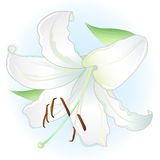 White lily vector illustration
