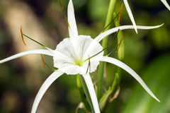 White lily like flower, Spider lily Royalty Free Stock Image